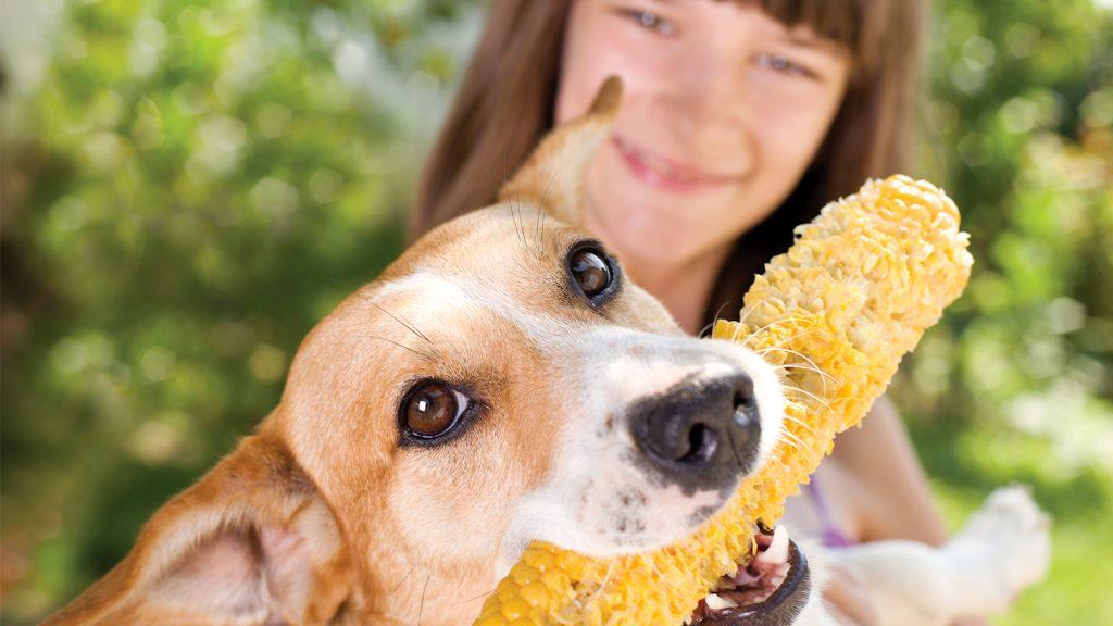 Köpek mamasında mısır yağı kullanımı olumlu sonuçlar verdi