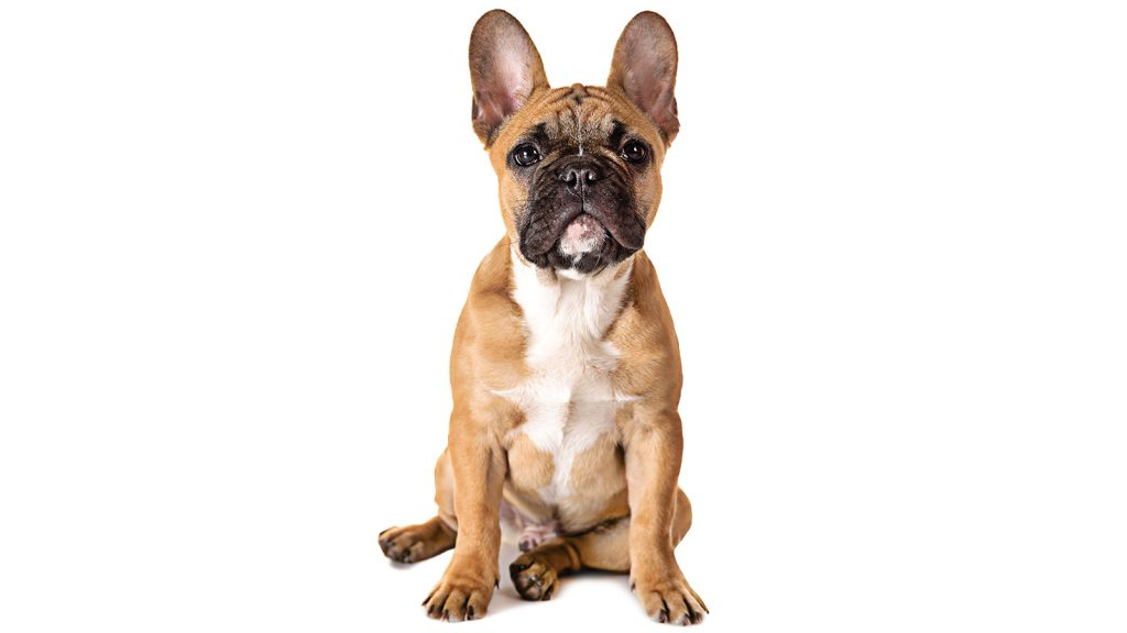 French bulldoglar distosiye daha yatkın