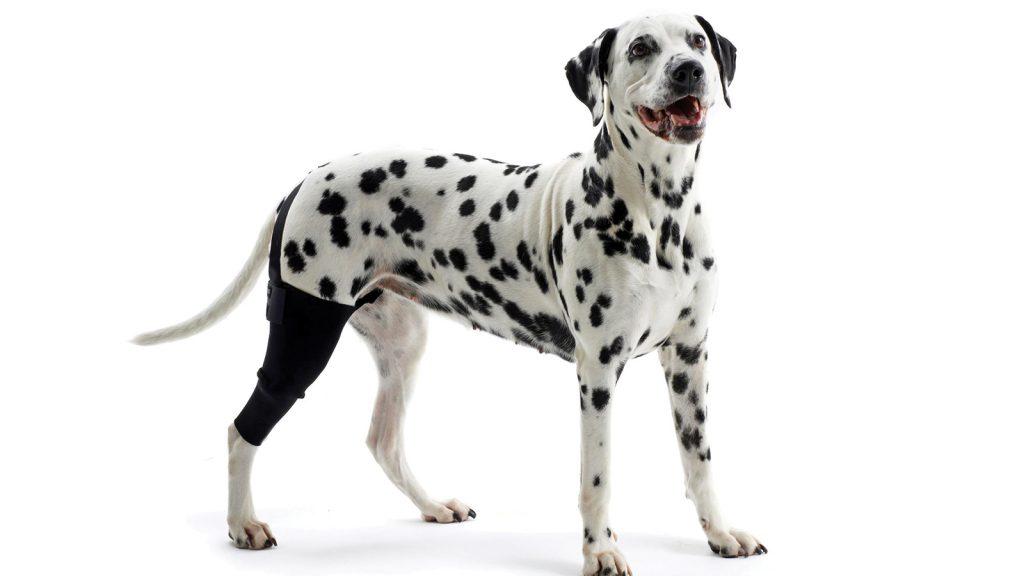 Evcil hayvanlarda fizik tedavi ve rehabilitasyon