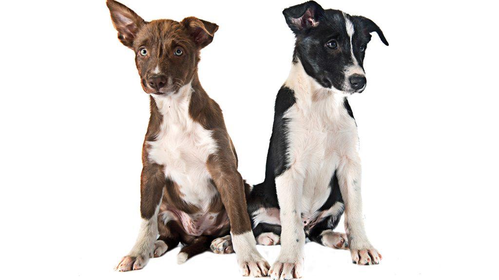 Köpek prostat neoplazisinde yeni tedavi