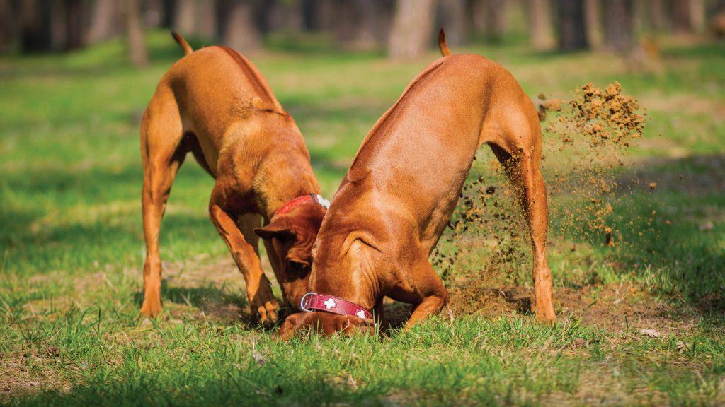 Köpekler dışkılamadan  sonra neden çim eşeleme  içgüdüsü sergiliyor?