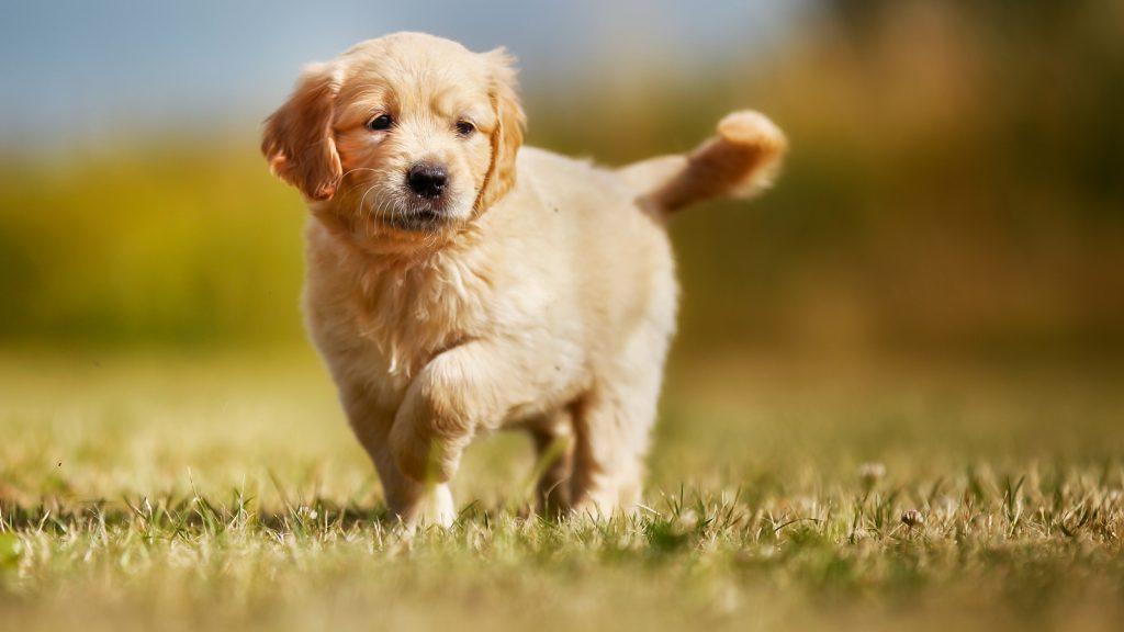 Yaz aylarında doğan köpekler kalp hastalığına daha yatkın!