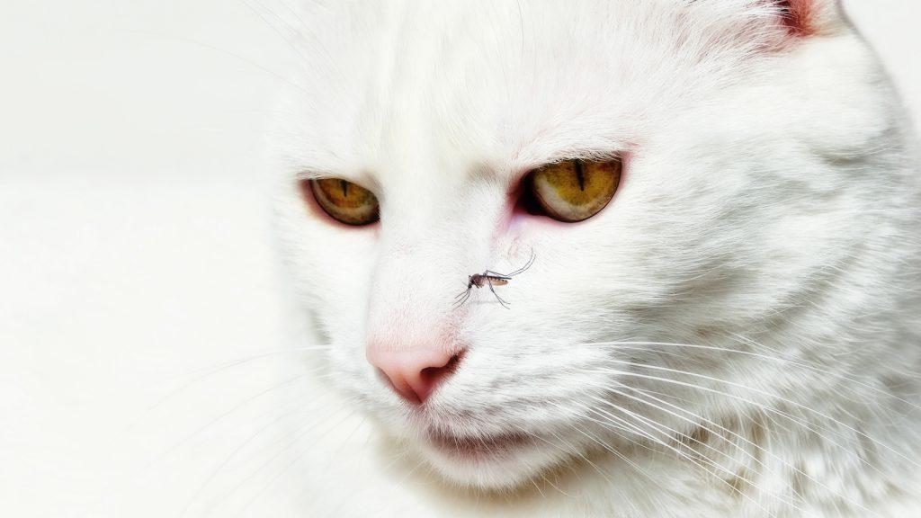 Kedilerde Dirofilaria immitis enfestasyonları