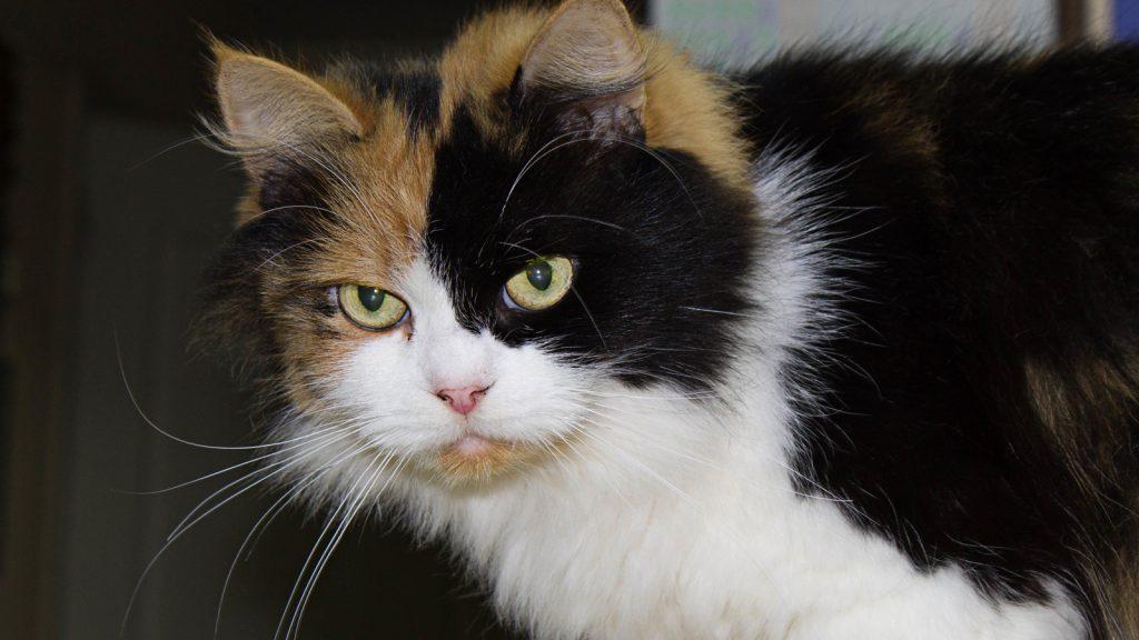Kaliko kediler hep dişi midir?