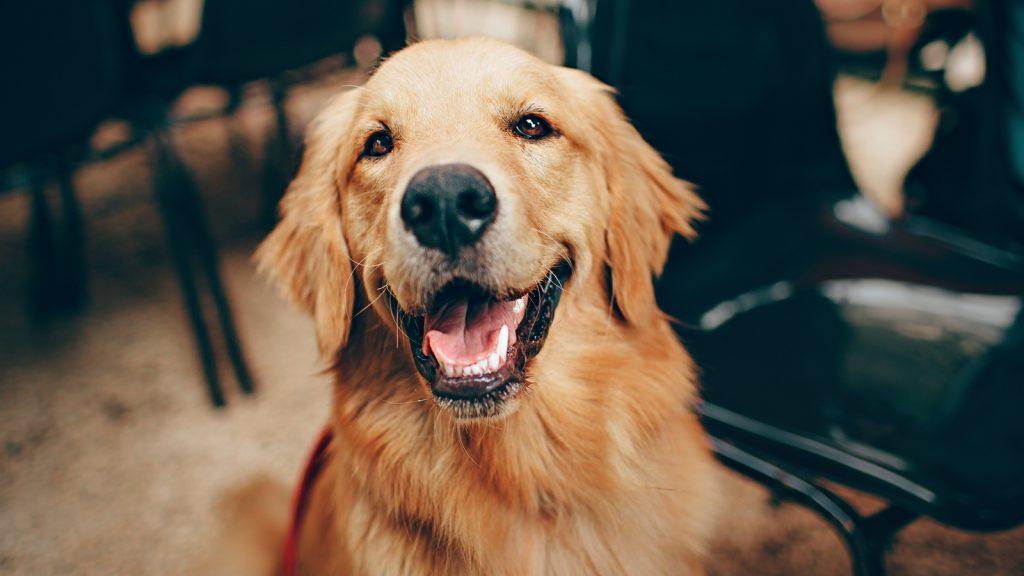 Köpek meme kanserine yeni görüş
