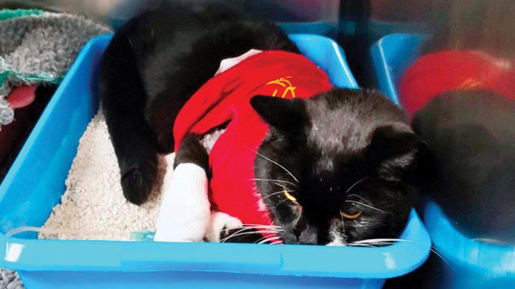 Kedi trakesinden interkostal torakotomi ile büyük bir taş alındı