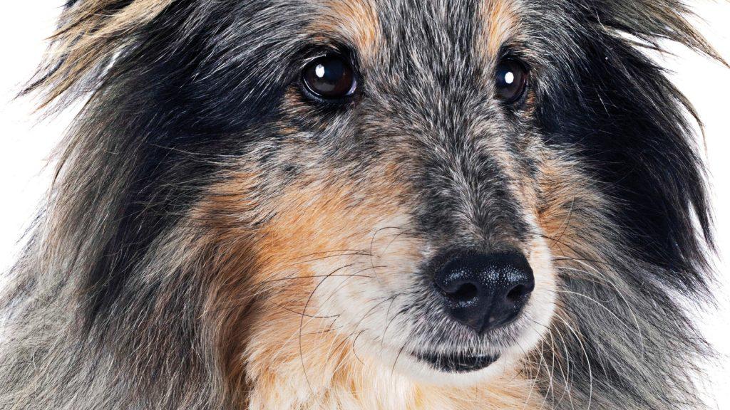 Köpek genom projesinde ilk deneme başarıya ulaştı