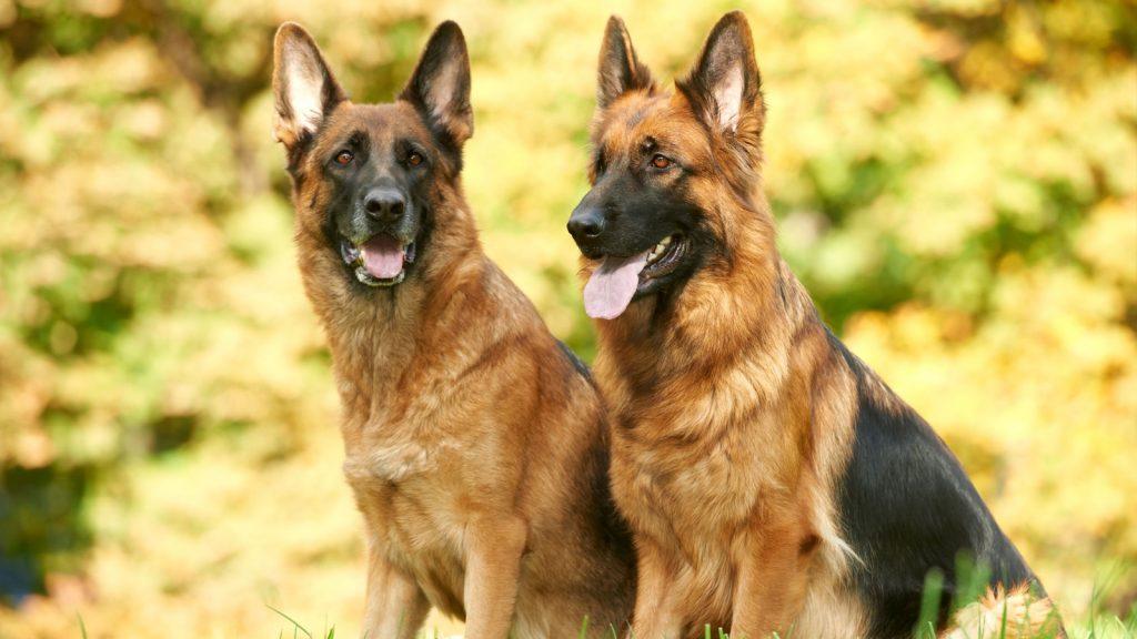 Köpekler COVID-19'u koku ile tanımlayabilir mi?