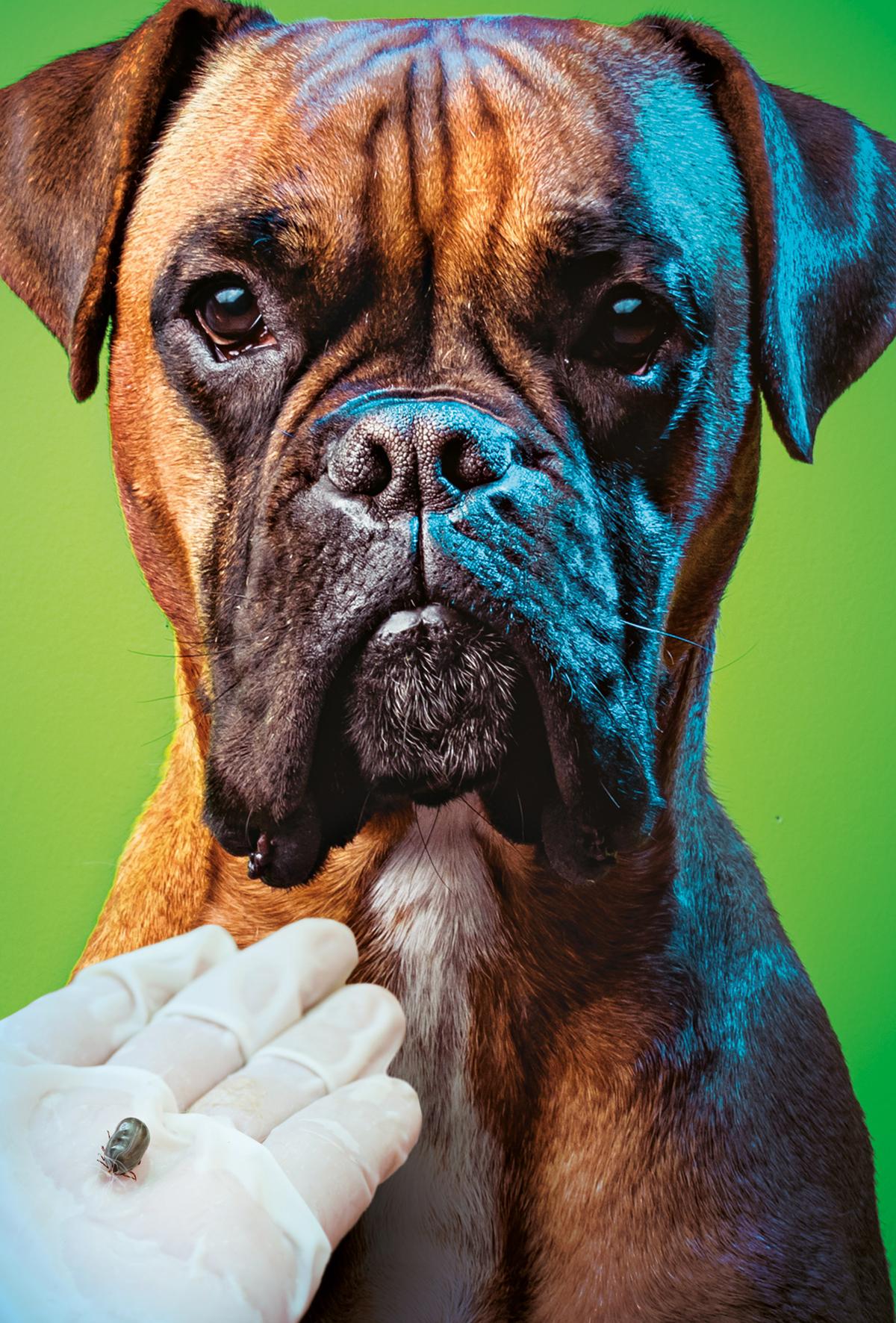 Köpeklerde kene ile ilişkili hastalıklar