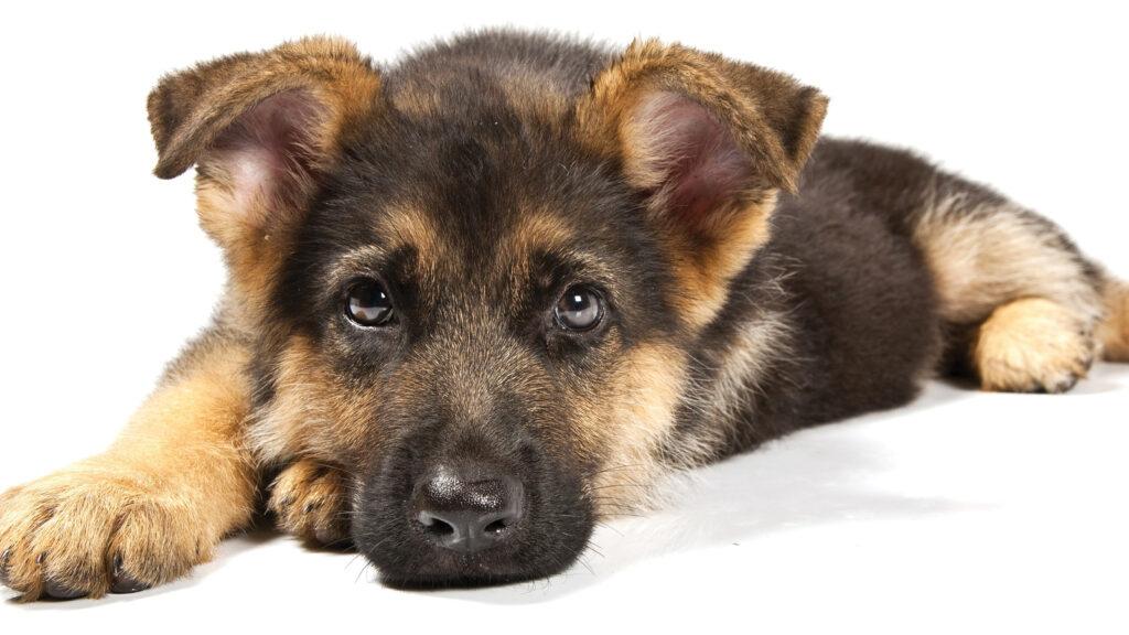 Alman çoban köpeği  genomu haritalandı