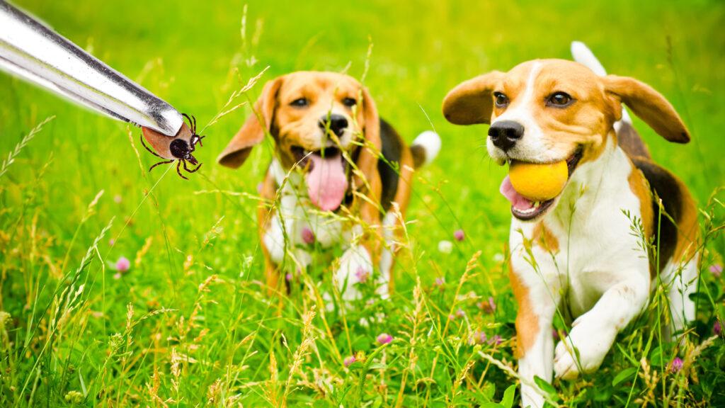 Proteinürili köpeklerde vektör kaynaklı hastalık prevalansı