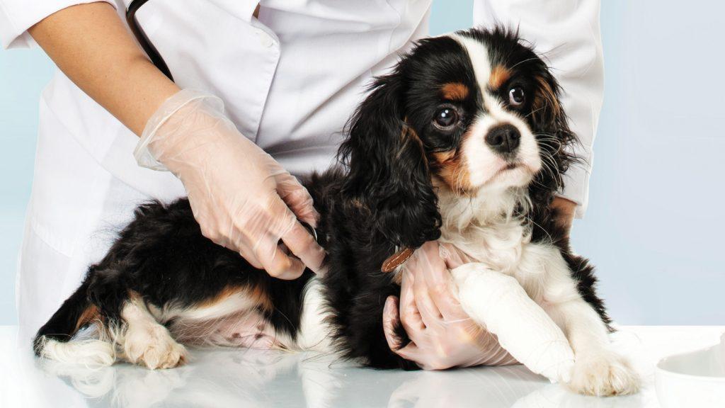 Anal kese hastalıkları riski taşıyan köpek ırkları ortaya koyuldu