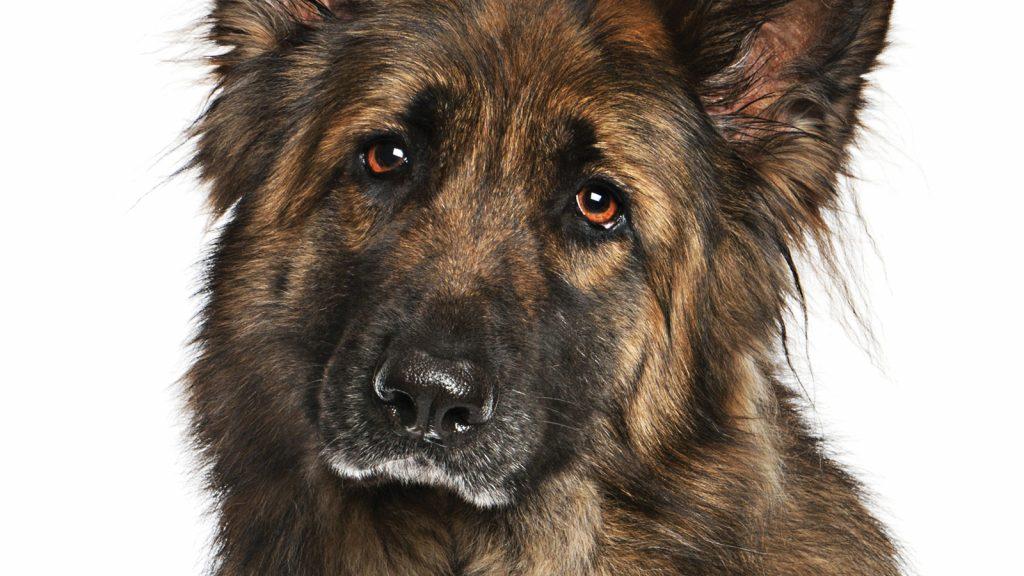 Farklı köpek ırkları farklı ağrı duyarlılığına sahip