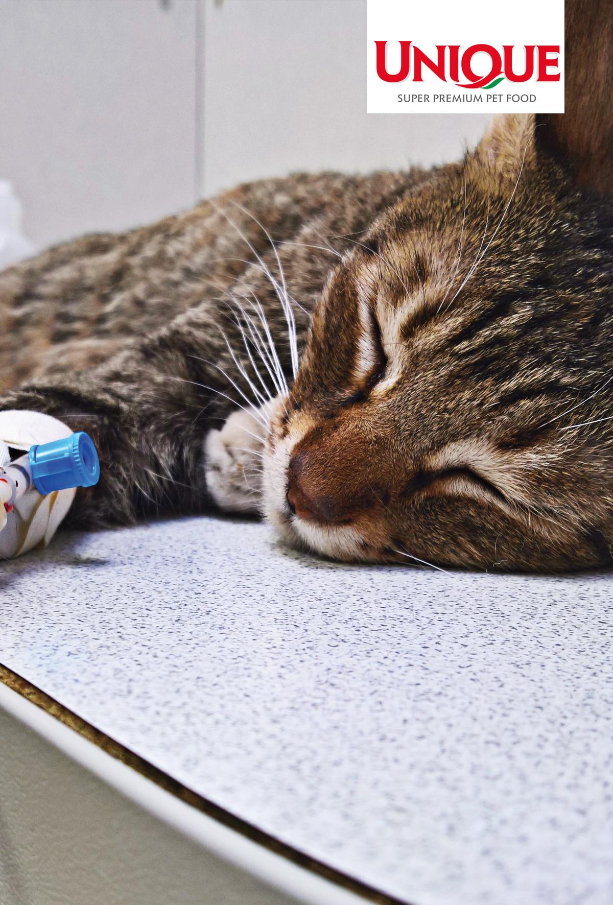 Kedilerde kronik ishal: tanı ve tedaviye güncel yaklaşım